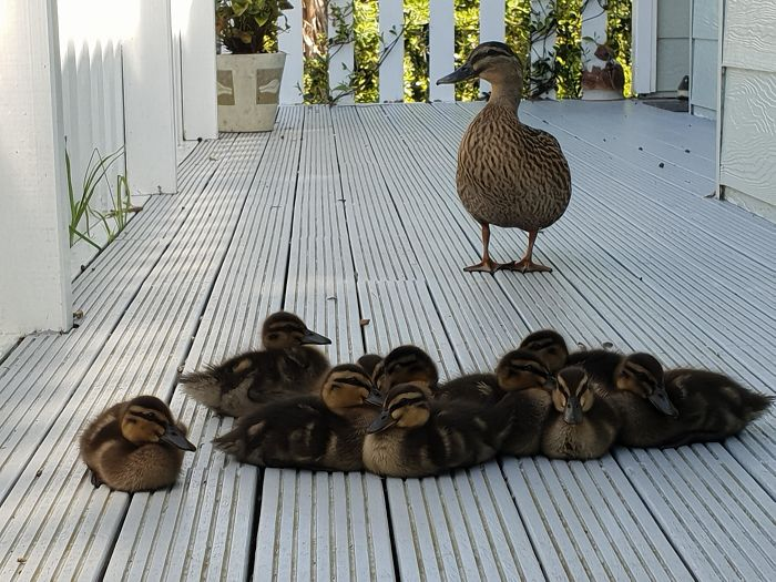 This Duck Used To Come To My Porch For Food. Recently, She Brought Her Babies. I've Been Watching Them Grow Up