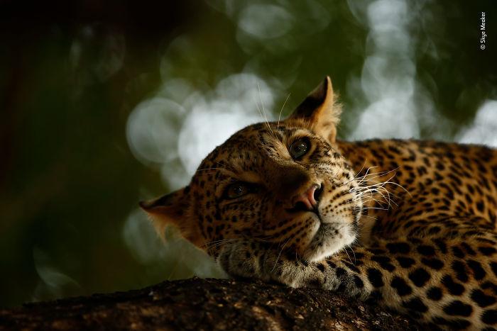 """Leopardo descansando"", Skye Meaker, Sudáfrica"