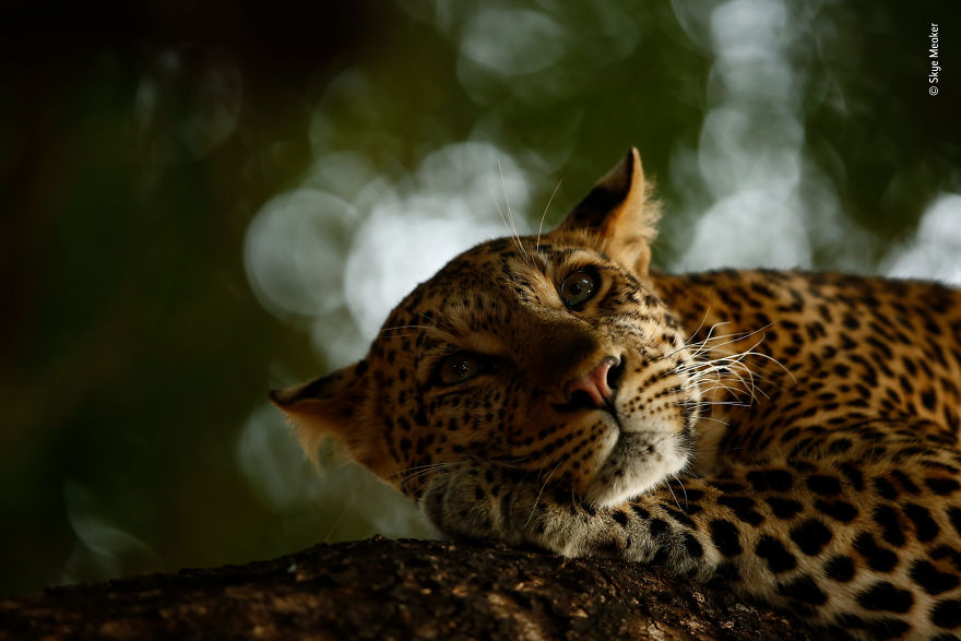 """Lounging Leopard"" By Skye Meaker, South Africa, Young Wildlife Photographer Of The Year"