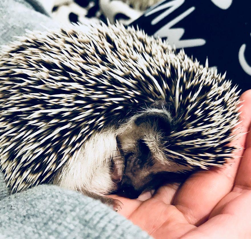 The Cutest Little Hedgehog