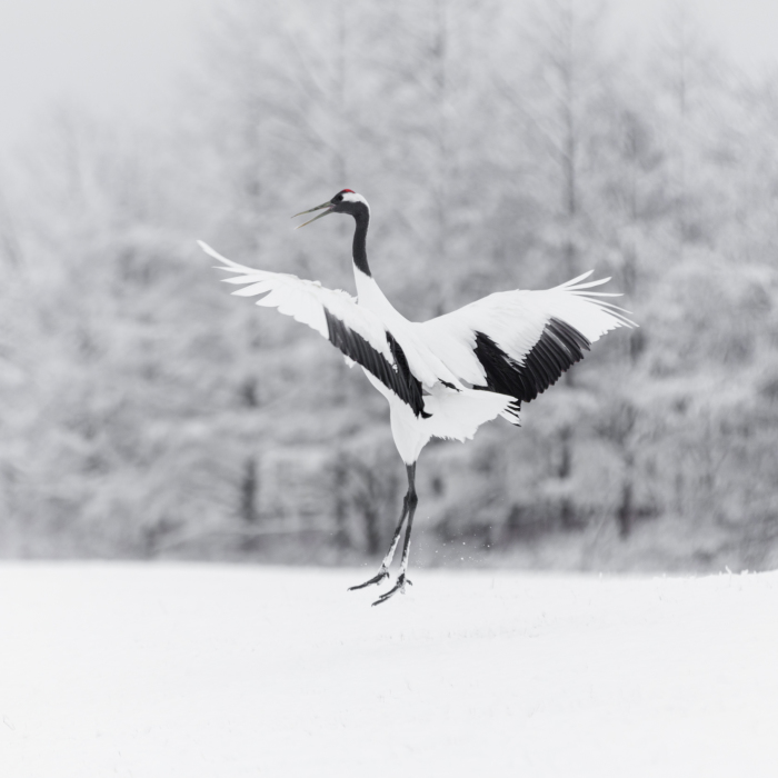 A Winter's Dance – Japan's Red Crowned Cranes