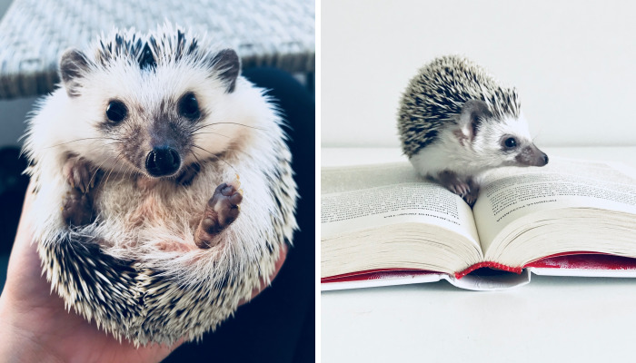 Meet Rick, The Cutest Hedgehog From Ukraine