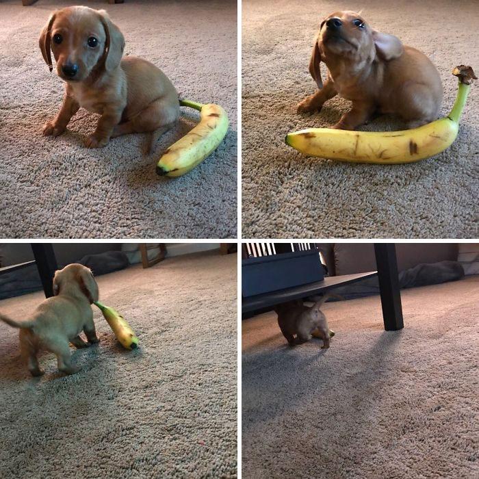 Se llama Rusty. Puse un plátano a su lado como escala, pero tenía otros planes