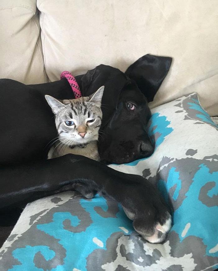 Mi gran danés de 6 meses sigue siendo amigo del gato