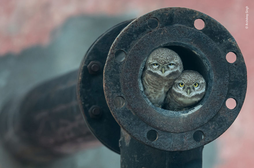 """Pipe Owls"" By Arshdeep Singh, India, Winner 2018 10 Years And Under"
