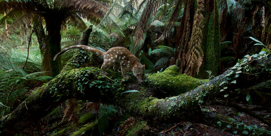 """Home Of The Quoll"" By David Gallan, Australia, Highly Commended 2018 Animals In Their Environment"