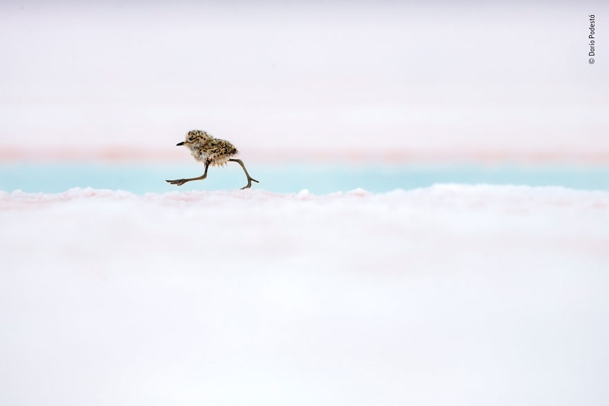 """Argentine Quickstep"" By Darío Podestá, Argentina, Highly Commended 2018 Animal Portraits"