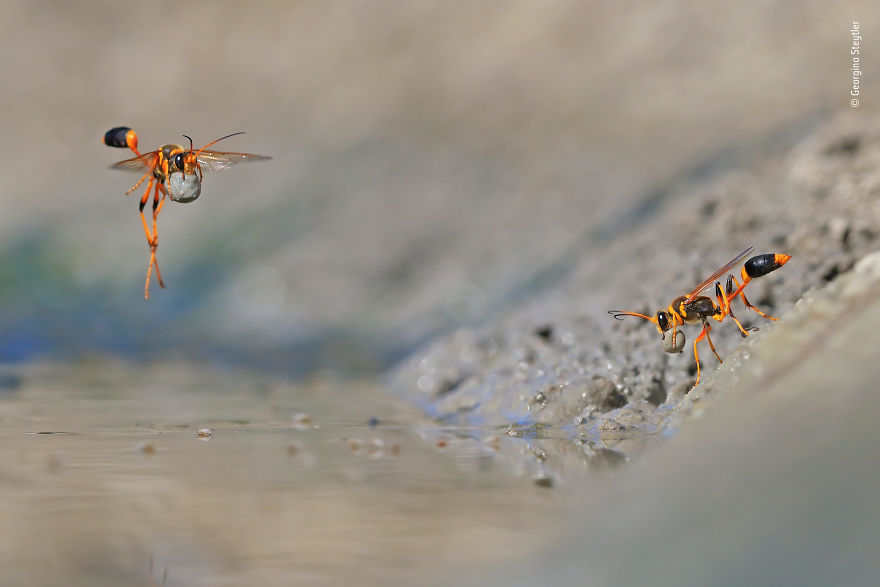 """Mud-Rolling Mud-Dauber"" By Georgina Steytler, Australia, Winner 2018 Behaviours Invertebrates"