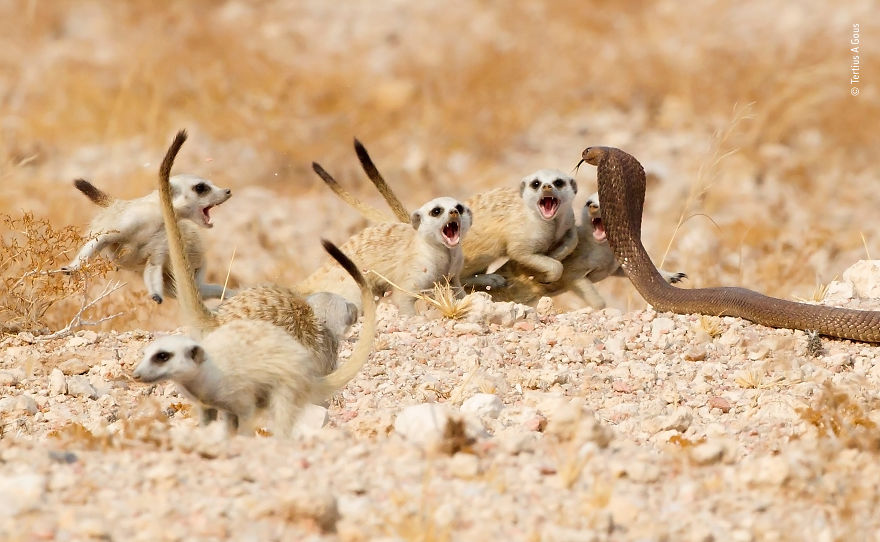 """The Meerkat Mob"" By Tertius A Gous, South Africa, Highly Commended 2018 Behaviours Mammals"