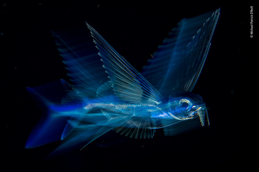 """Night Flight"" By Michael Patrick O'neill, Usa, Winner 2018 Under Water"