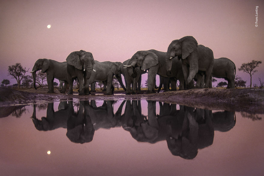 Elephants At Twilight By Frans Lanting, The Netherlands, Winner 2018 Wildlife Photographer Of The Year Lifetime Achievement Award