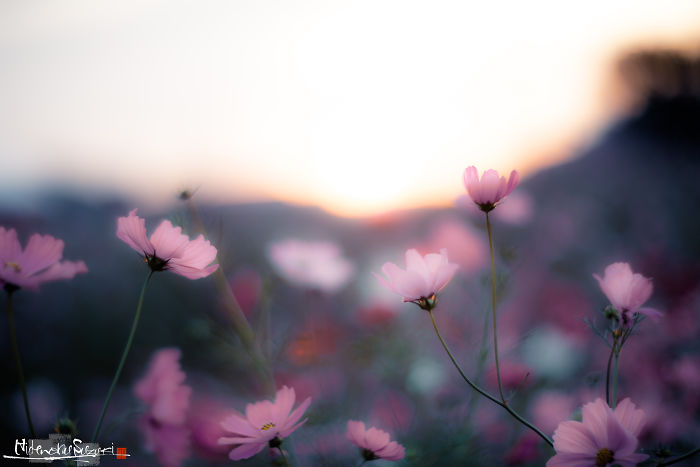 I Captured Cosmos Blooming In Japan