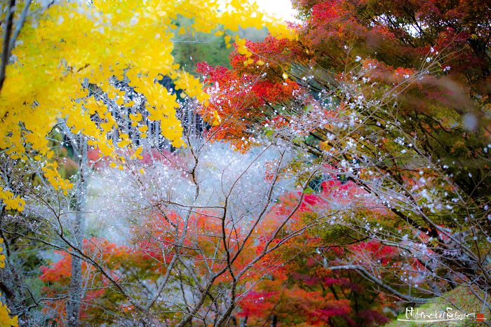 Do You Know The Autumn Cherry Blossoms?