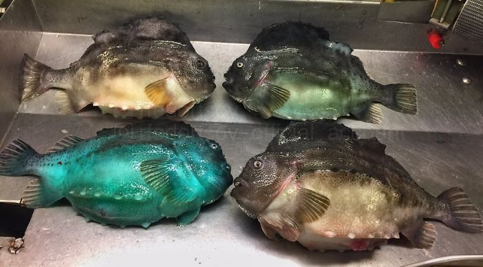 """Different Colors Of Lumpfish"""
