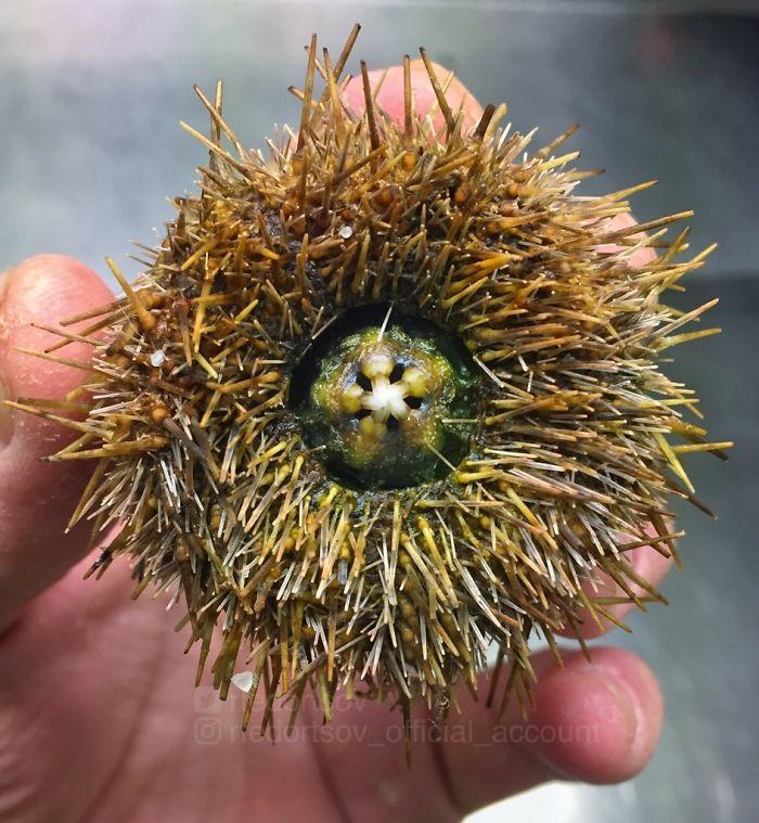 """""""Amazing Sea Urchin. Norwegian Sea"""""""