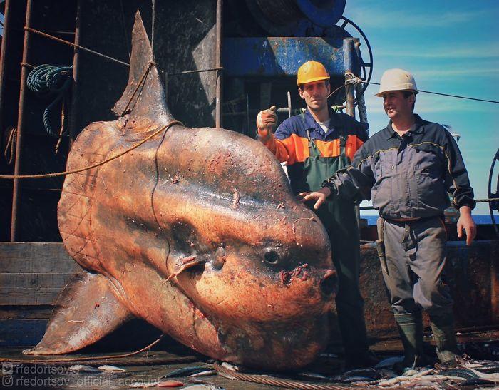 """Big Sunfish. Bycatch. Fishing In Atlantic Ocean, Near Morocco"""