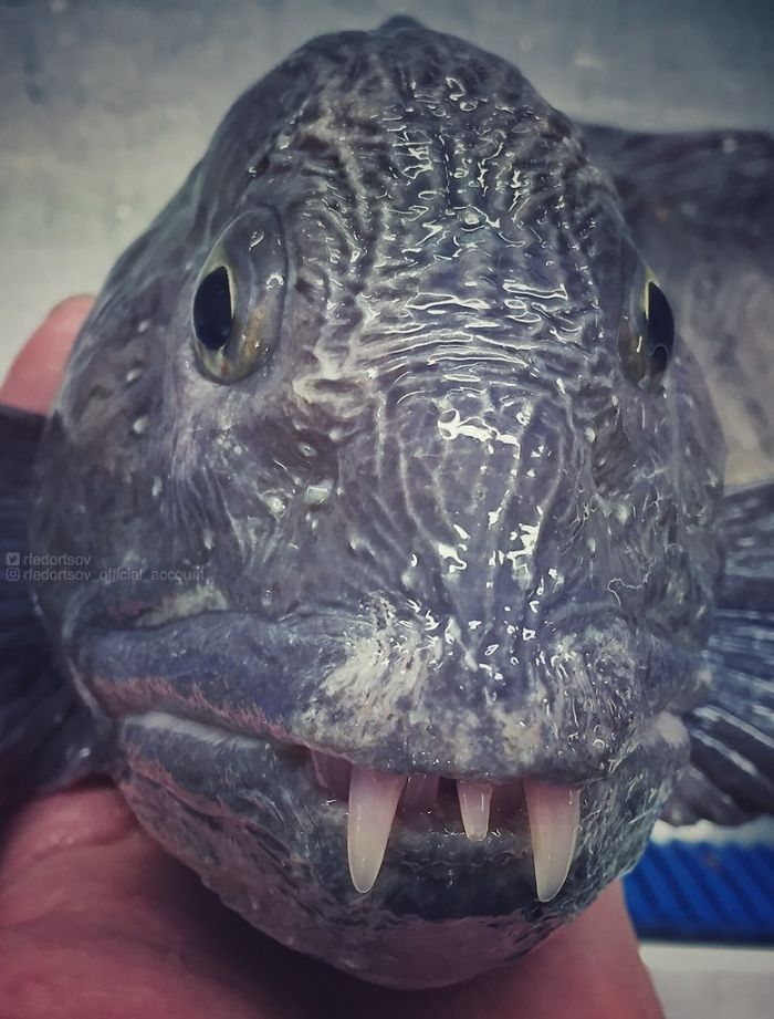 """Pretty Wolffish. Tasty And Scary"""