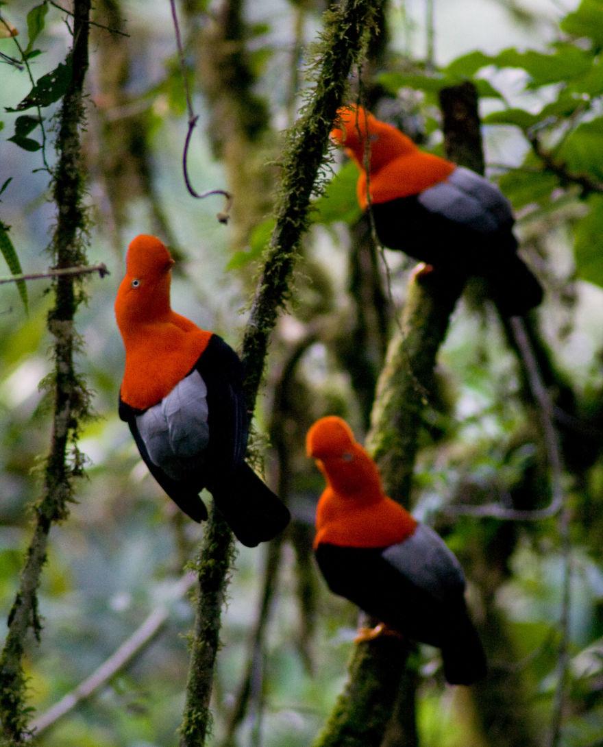 Andean Cock Of The Rock (Rupicola Peruvianus)