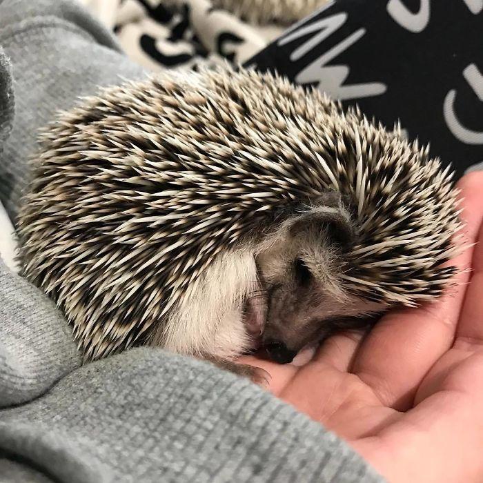 Cute Sleeping Hedgehog
