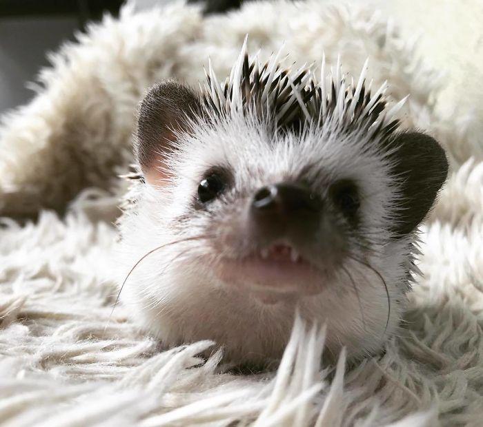 I'm A Vampire Hedgehog