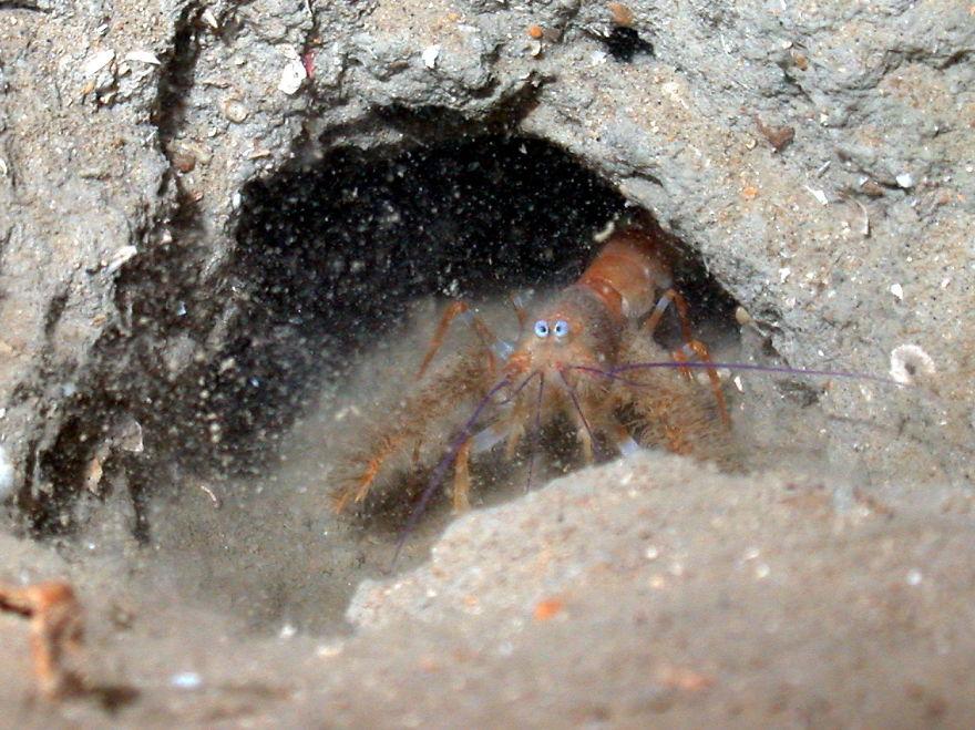 Blind Furry Lobster (Palinurellus Gundlachi)