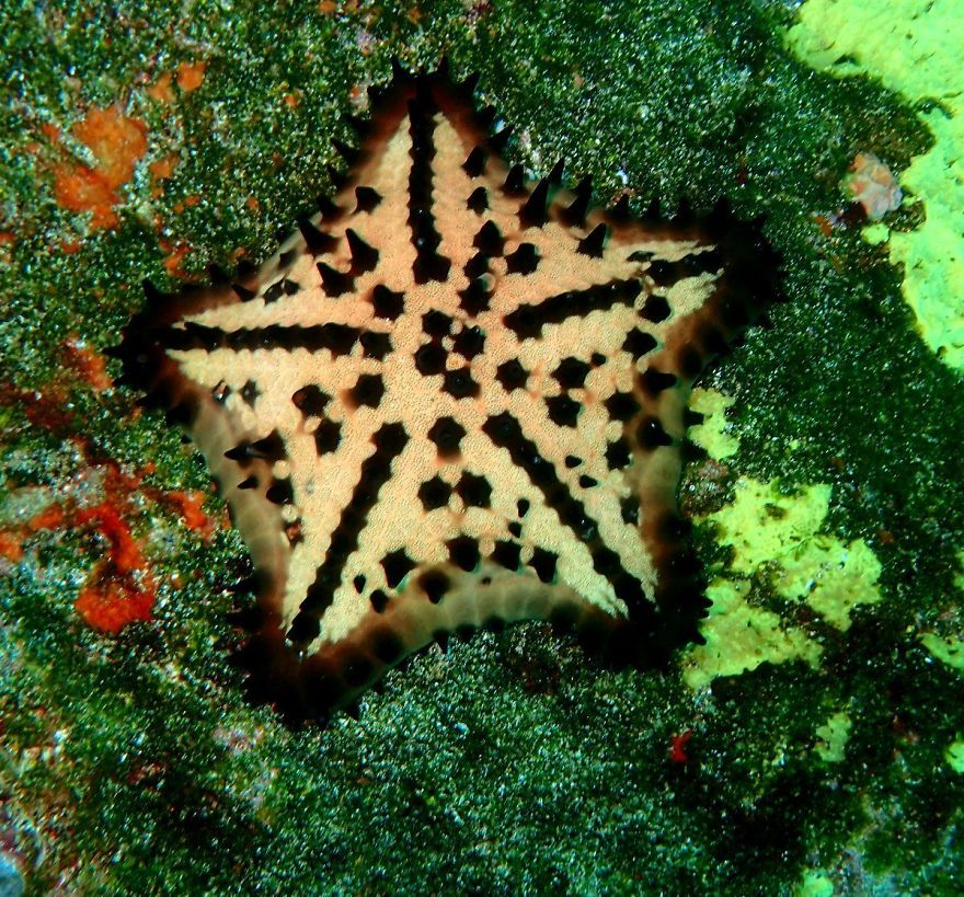 Chocolate Chip Sea Star ( Nidorellia Armata)