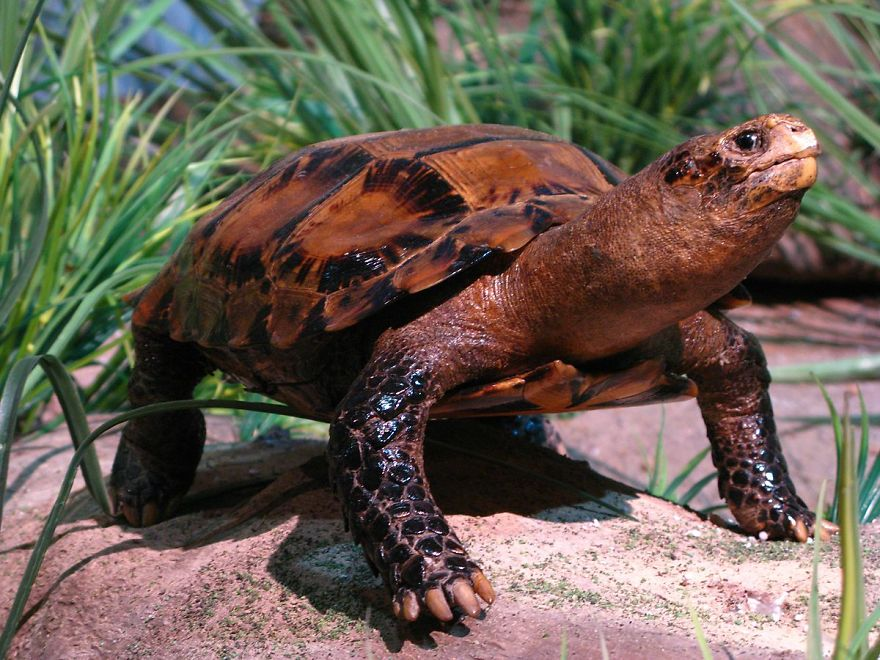 Impressed Tortoise (Manouria Impressa)