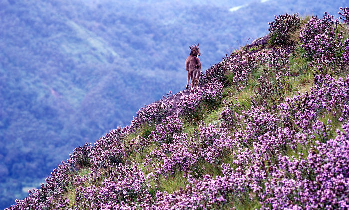 Neelakurinji Blooming In Munnar Top Station After 12 Years- Munnar Tent Camps