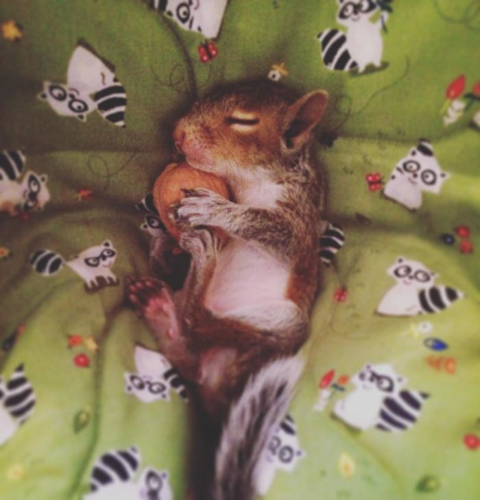 Man Finds Baby Squirrel On His Bed And It Grows Up To Be The Most Adorable Pet Bored Panda