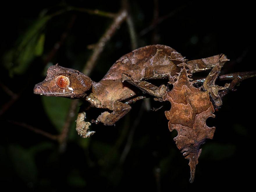 Satanic Leaf-Taled Gecko (Uroplatus Phantasticus)