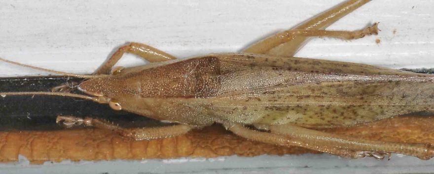Slightly Musical Conehead (Neoconocephalus Exiliscanorus)