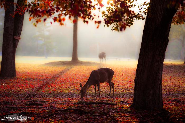 The Deer Of The Gods In Nara Park
