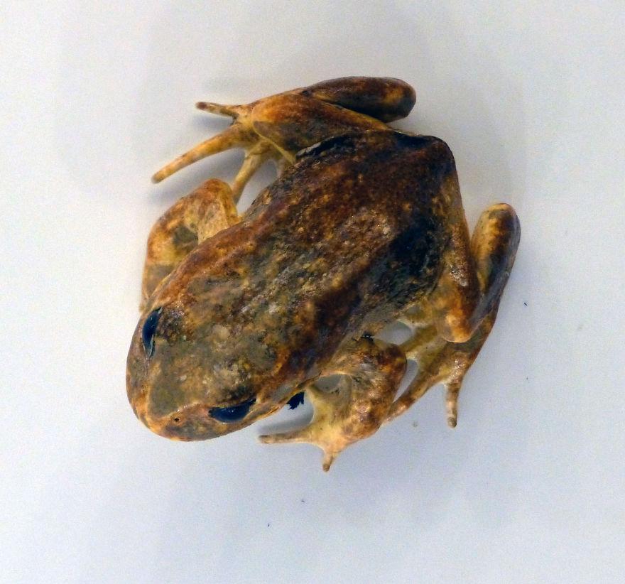 Baw Baw Frog (Philoria Frosti)