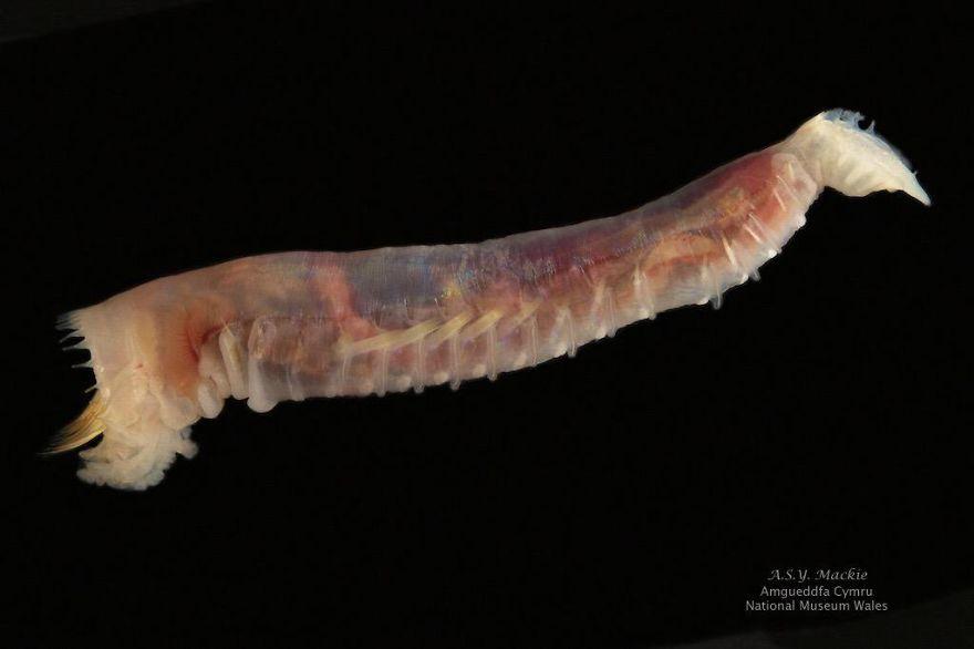 Ice Cream Cone Worm (Pectinaria Gouldii)