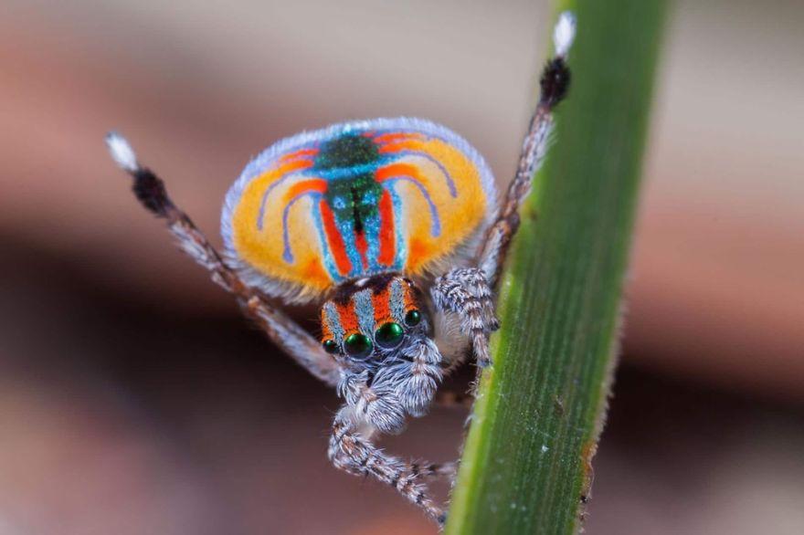 Sparklemuffin Spider (Maratus Jactatus)