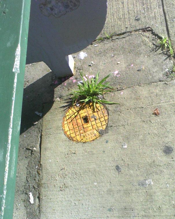 Forbidden Pineapple On A Pavement