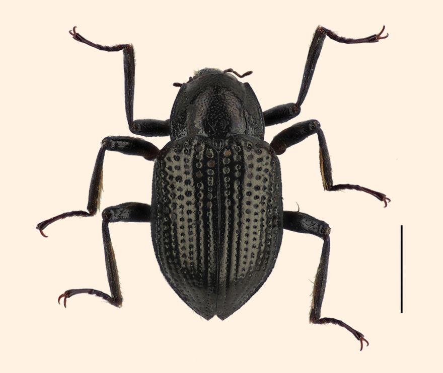Leonardo Di Caprio Beetle (Grouvellinus Leonardodicaprioi)