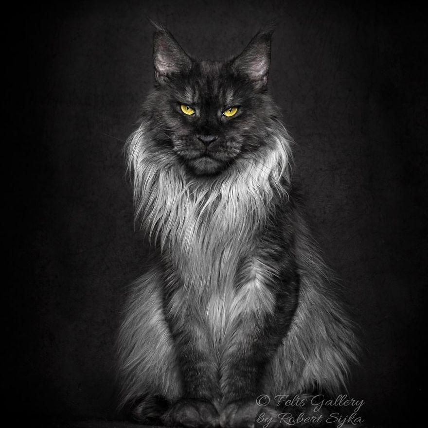 Maine-Coon-Cat-Photography-Felis-Gallery-Robert-Sijka