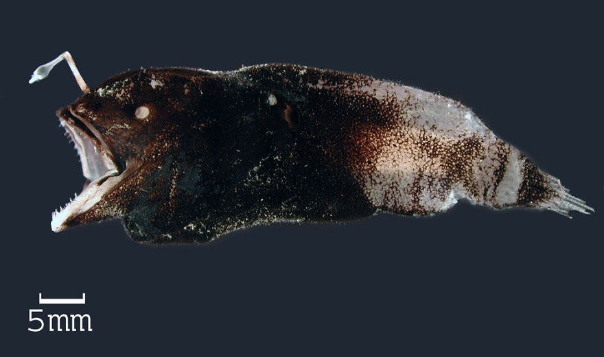 Prickly Dreamer (Spiniphryne Gladisfenae)