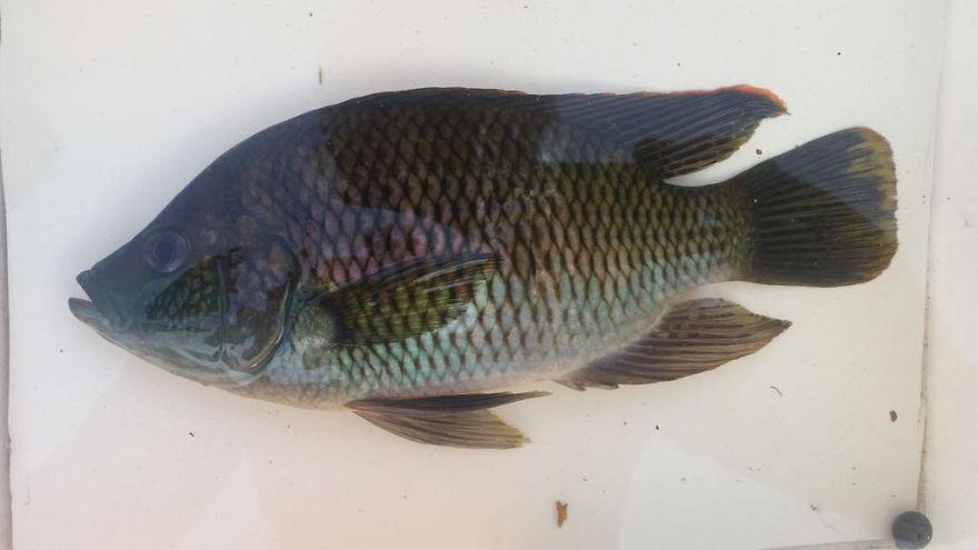 Rainbow Happy (Sargochromis Carlottae)