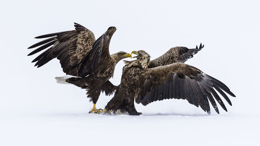 Eagles Arguing, Finland (Honorouble Mention In Under 20 Category)