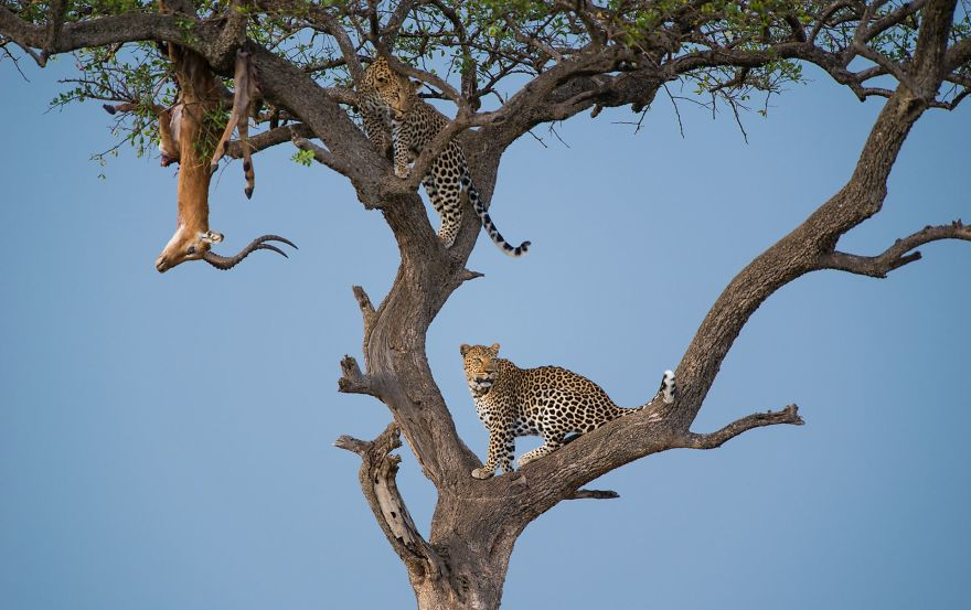 Leap Of Leopards (Remarkable Award In Animals In Their Environment Category)