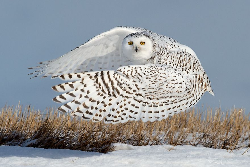Snowy Ballerina (Remarkable Award In Animals In Their Environment Category)
