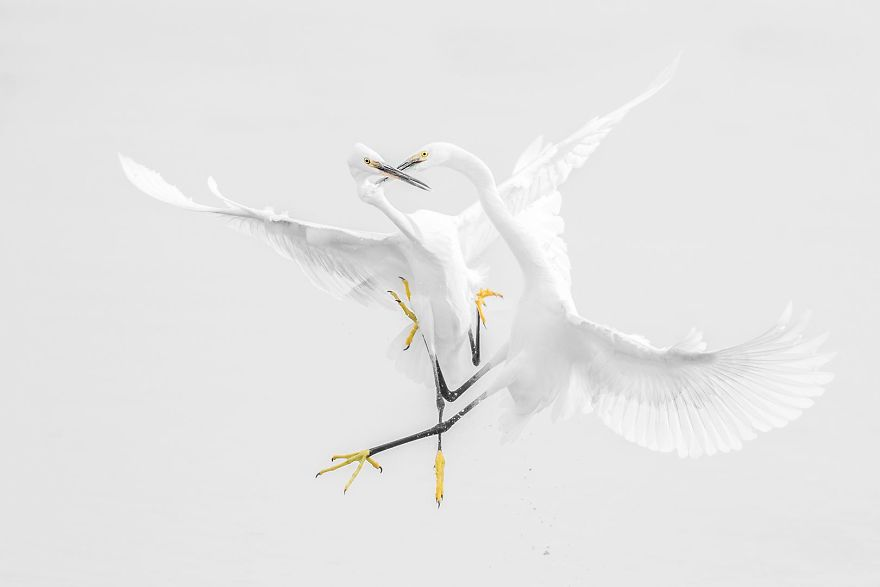 Egrets Fight (Remarkable Award In Animals In Their Environment Category)