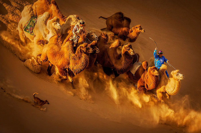 Camels In The Desert,  Mongolia (2nd Place In General Color Category)