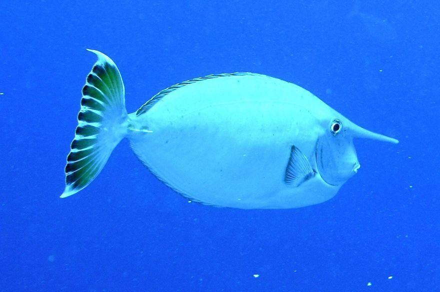 Whitemargin Unicornfish (Naso Annulatus)