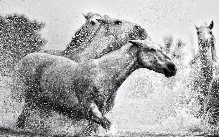 Responsibility | Black & White Equine Photography By Ejaz Khan
