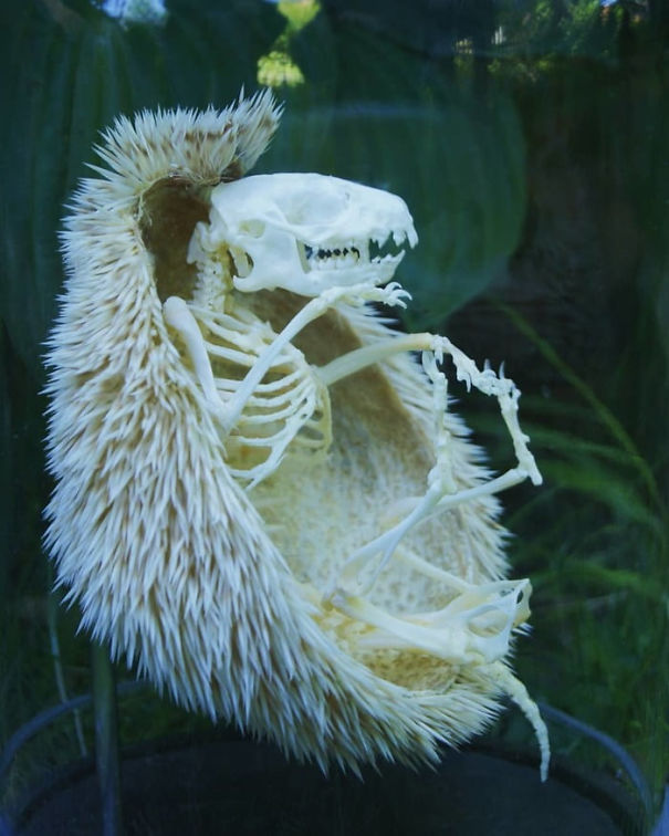 In Case You Ever Wanted To Know What A Hedgehog Skeleton Looked Like