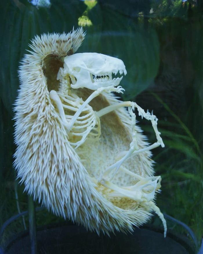 Esqueleto de erizo