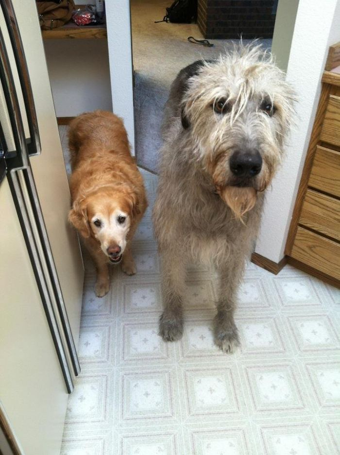 My Parent's Golden Retriever Next To My Uncle's Huge Irish Wolfhound